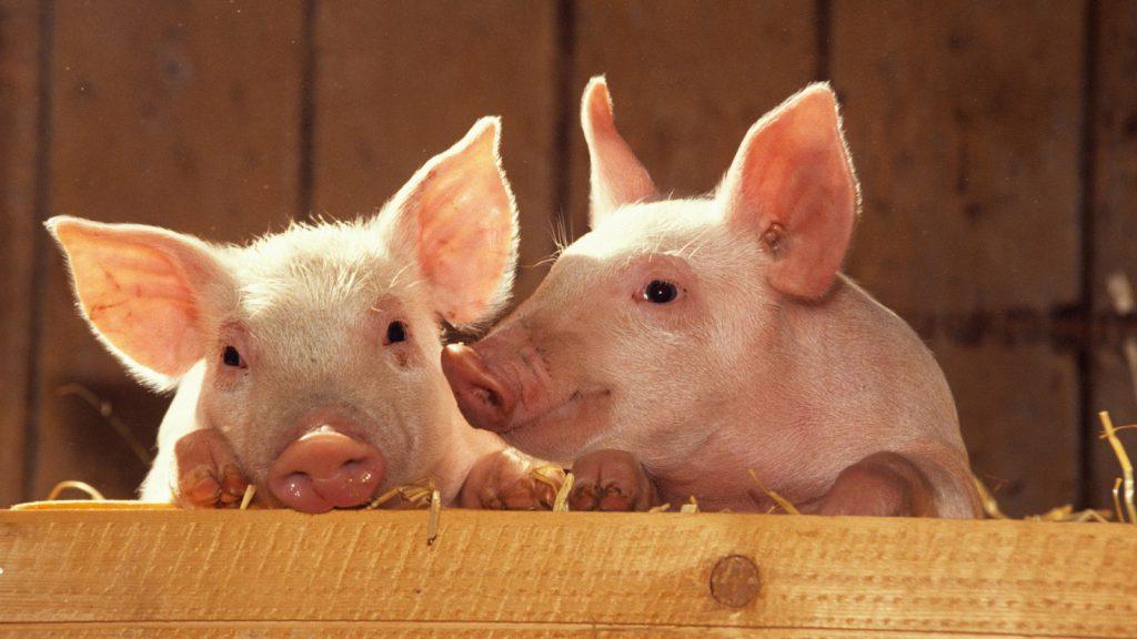 Новый свиноводческий комплекс построят в Нижегородской области