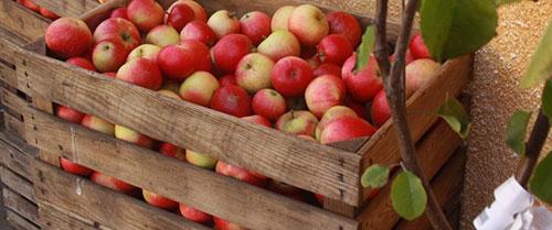 Правда или ложь: в Нижегородской области яблоки подорожают до 200 рублей?