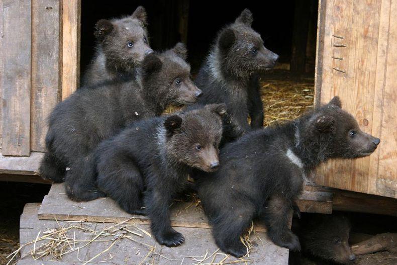 Бэби-бум в «Лимпопо» продолжается. В нижегородском зоопарке родились медвежата