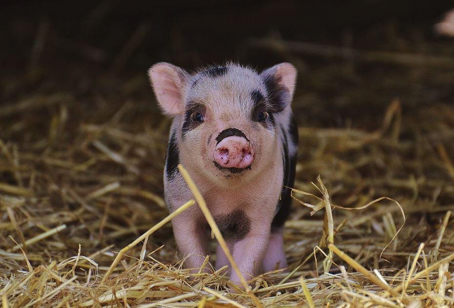 Очаг африканской чумы свиней локализован в Дальнекостантиновском районе