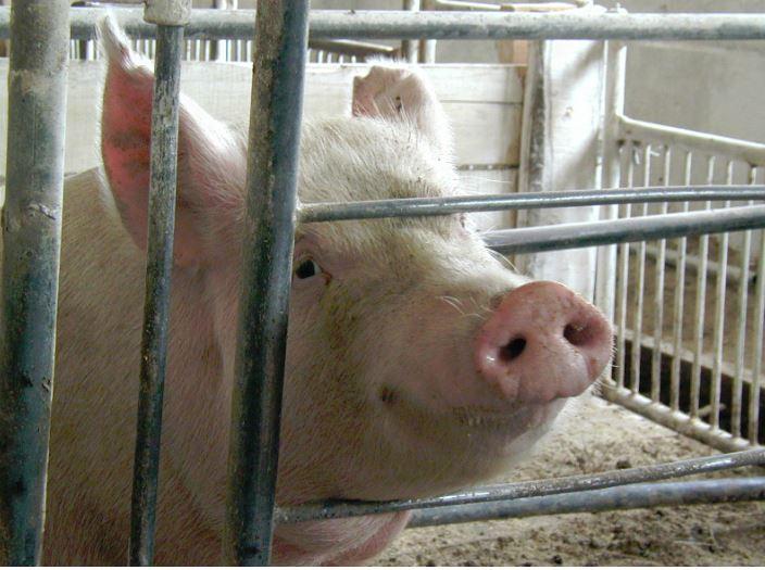 Африканскую чуму свиней обнаружили в Княгинине