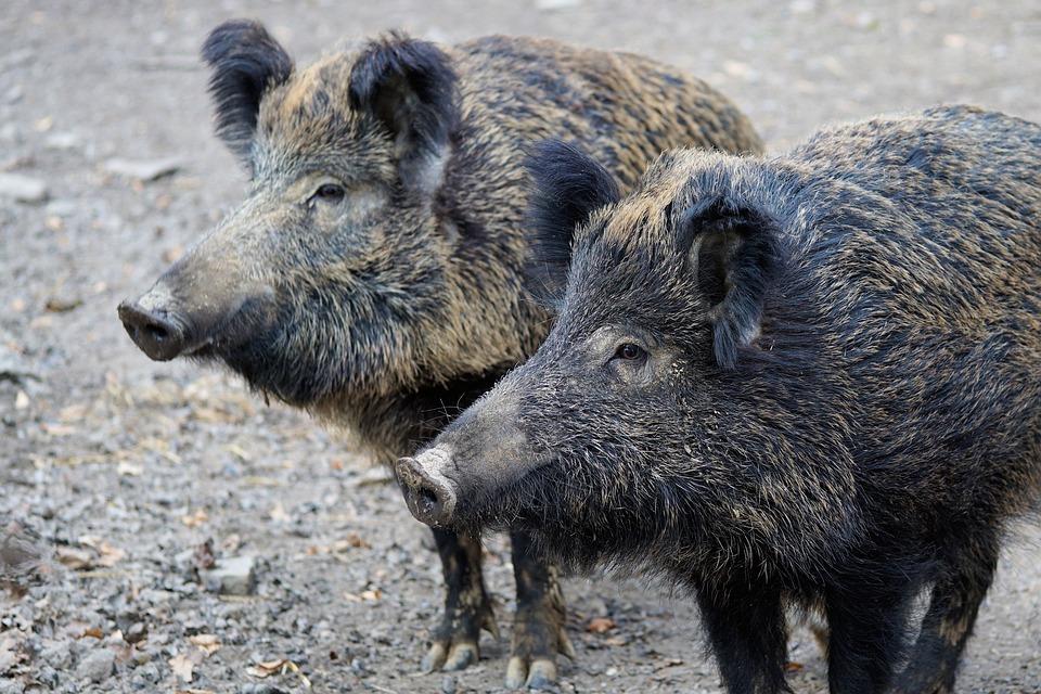 Из-за эпидемии африканской свиной чумы в трех районах Нижегородской области объявили карантин