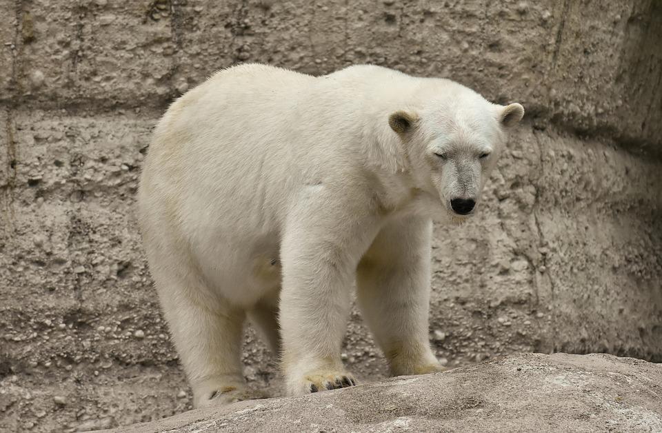 Белый медведь Николай приедет в нижегородский зоопарк «Лимпопо»