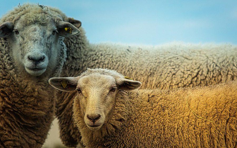 Строительство завода по переработке козьего и овечьего молока началось в Лысковском районе