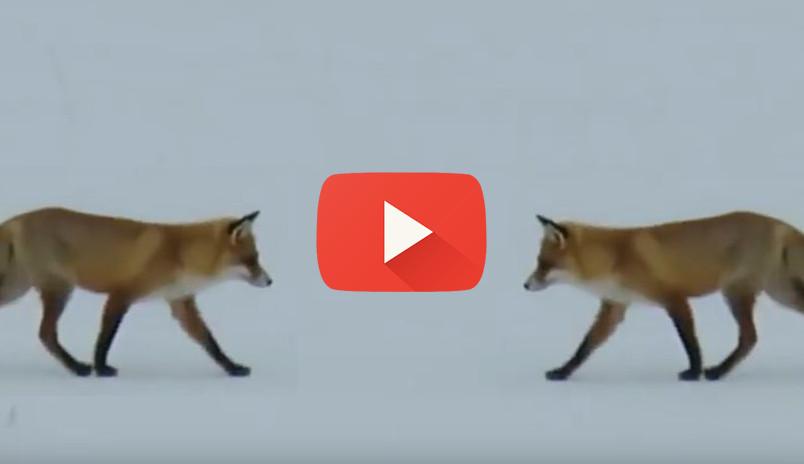 Любознательный нижегородец снял на видео охоту лисицы на мышей