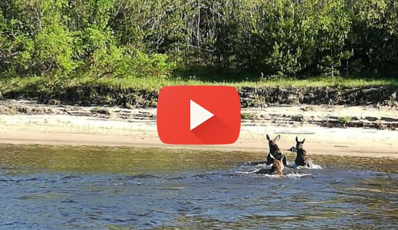 Лосиный заплыв: Сотрудники Госохотнадзора запечатлели, как сохатые переплывают Волгу