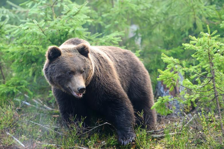 Следы медведя обнаружены в районе саровских Серебряных ключей