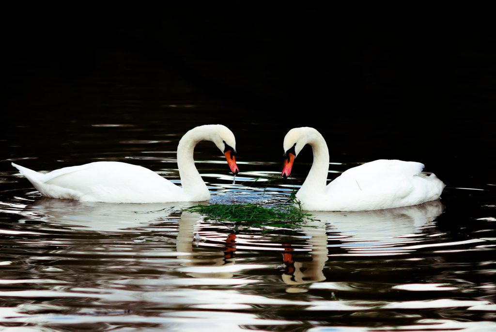 Ах, белый лебедь на пруду….