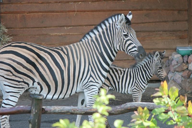 В «Лимпопо» отметят день рождения зебрёнка