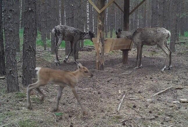 Северный олененок родился в Керженском заповеднике