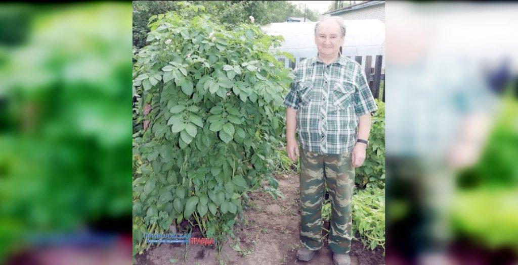 Куст картофеля с человеческий рост вырос на дачном участке нижегородца