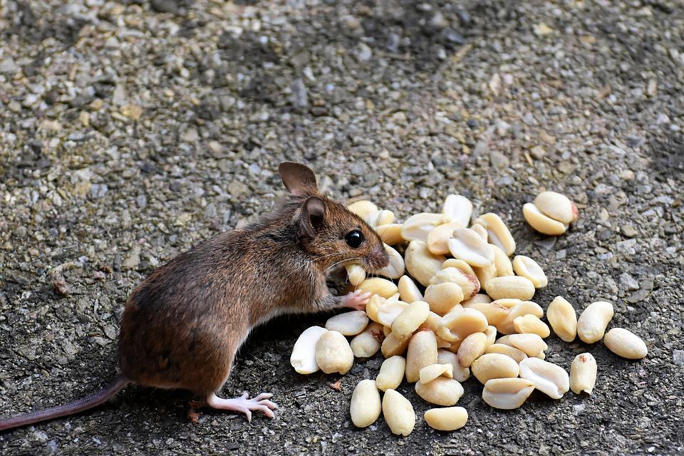 Правда или ложь: на Бору началась эпидемия «мышиной лихорадки»