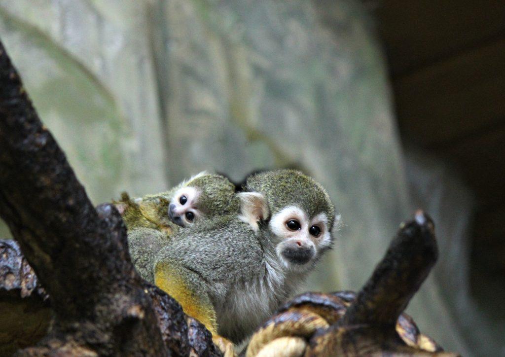 В зоопарке «Лимпопо» появился малыш экзотической обезьянки