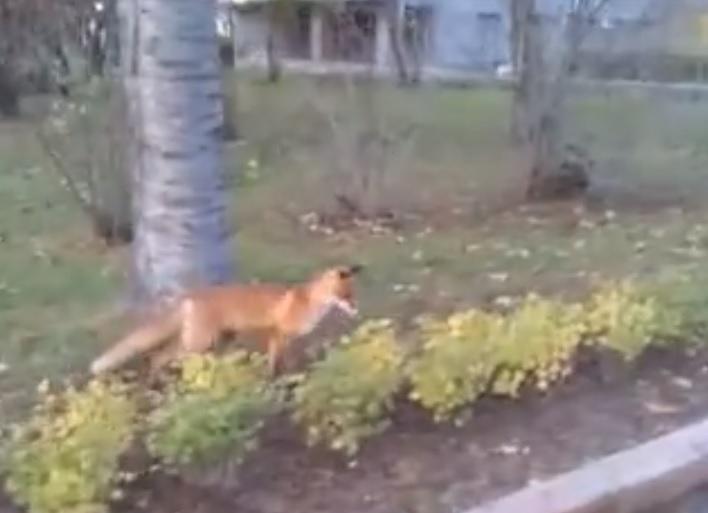Лиса-турист или лиса-чиновник? Лесной зверь гулял по территории Нижегородского кремля