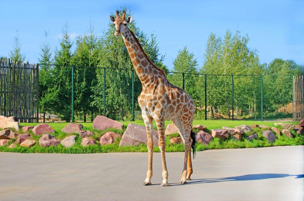 Жирафа Радуга из «Лимпопо» отметит свой юбилей праздничным обедом: нижегородцев приглашают поздравить любимицу зоопарка