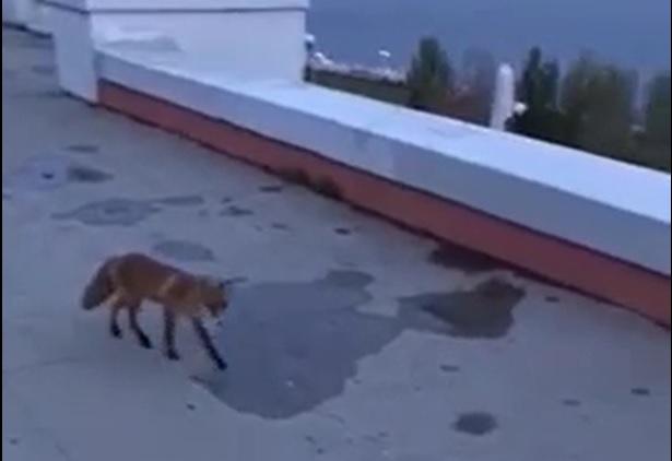 Лис гуляет по Чкаловской лестнице
