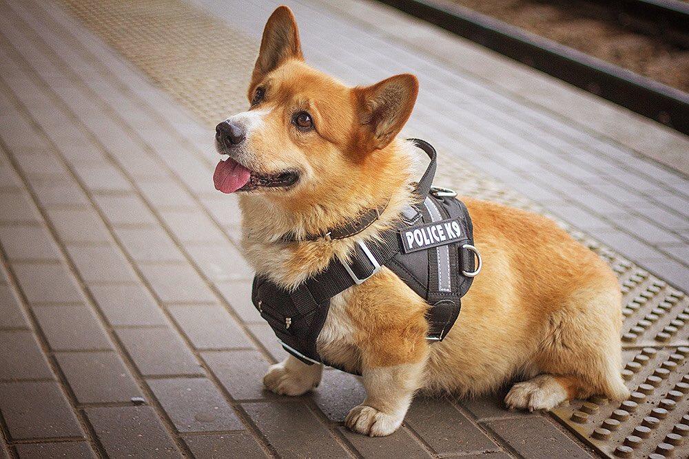 Корги-полицейский из Нижнего Новгорода переоделся в новую форму