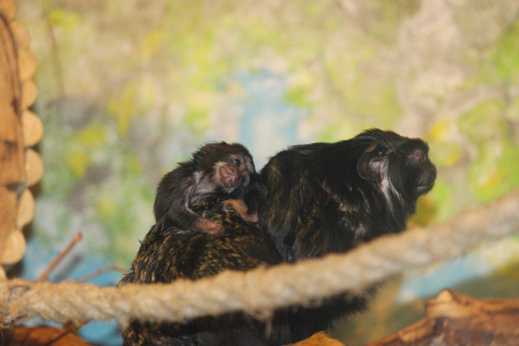 Фото дня: маленькие краснорукие тамарины родились в зоопарке «Лимпопо»