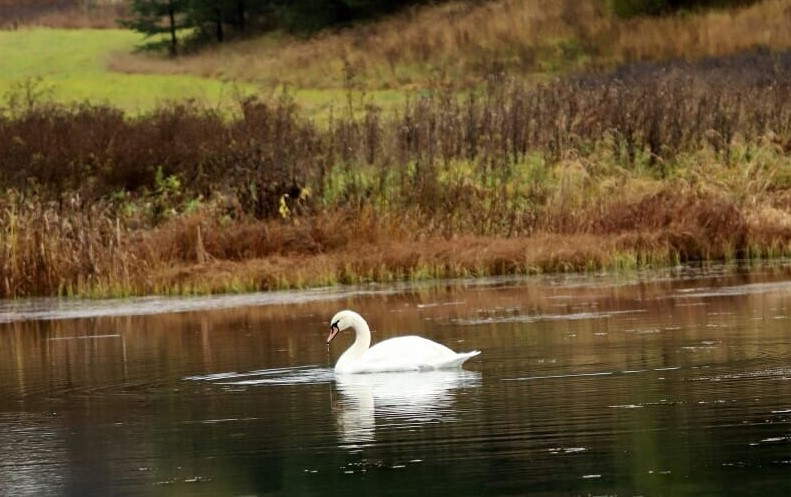 Лебедь-интроверт или лебедь патриот?