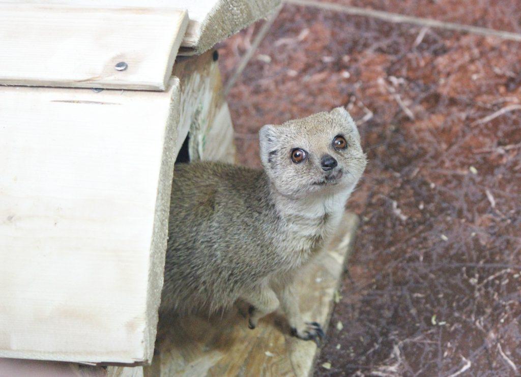 Семейную пару мангустов переселили из зоопарка «Мишутка» в «Лимпопо»