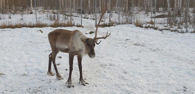 Старший олень Игнат потерял рог в Керженском заповеднике