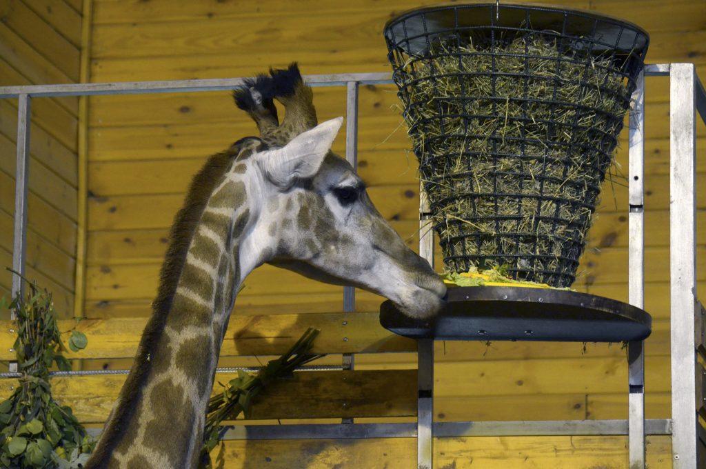 Жирафе «Радуге» делают массаж сотрудники нижегородского зоопарка «Лимпопо»