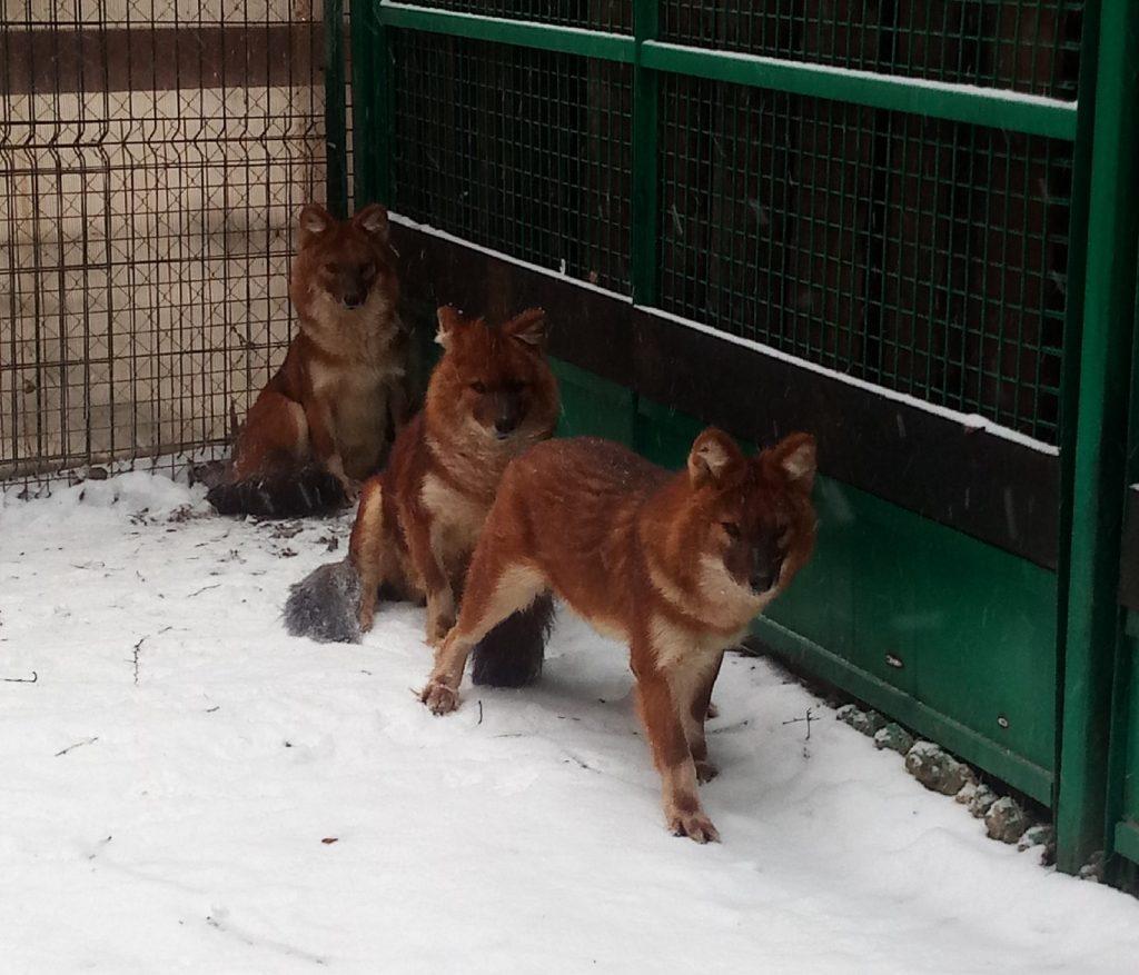 Красные волки переехали из зоопарка «Мишутка» в Кострому