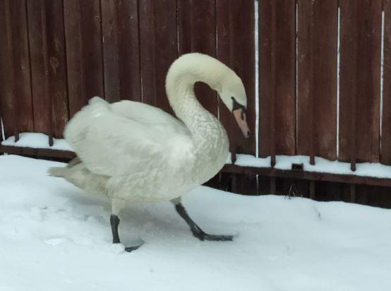 Лебедь-шипун, спасенный в Гагинском районе, пошел на поправку в зоопарке «Лимпопо»