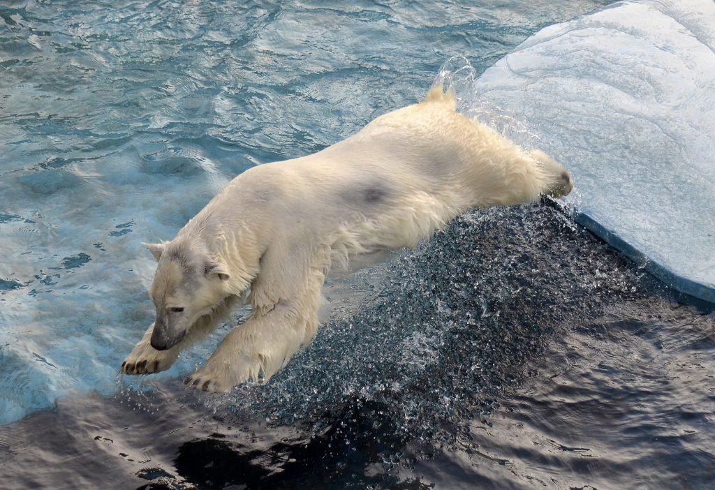 Белая медведица из Нижнего Новгорода стала звездой Первого канала (ВИДЕО)