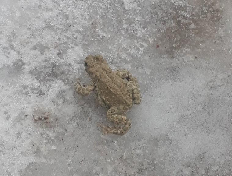 В Нижегородской области лягушки проснулись от зимней спячки