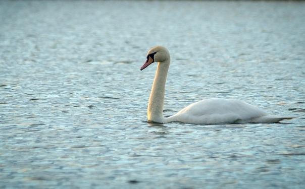 Фото дня: Белые лебеди прилетели на озере в Княгинине