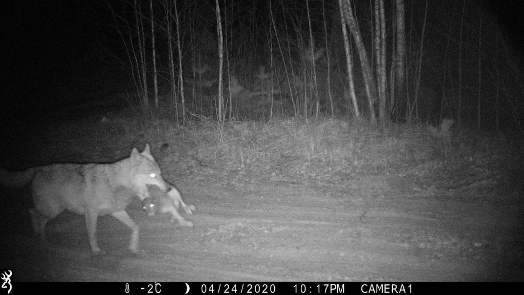 Фотоловушка в Керженском заповеднике засняла ночную охоту волка
