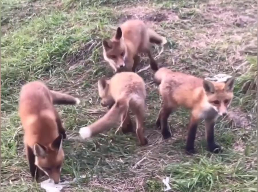 Видео дня: в парке «Швейцария» поселилось семейство лис