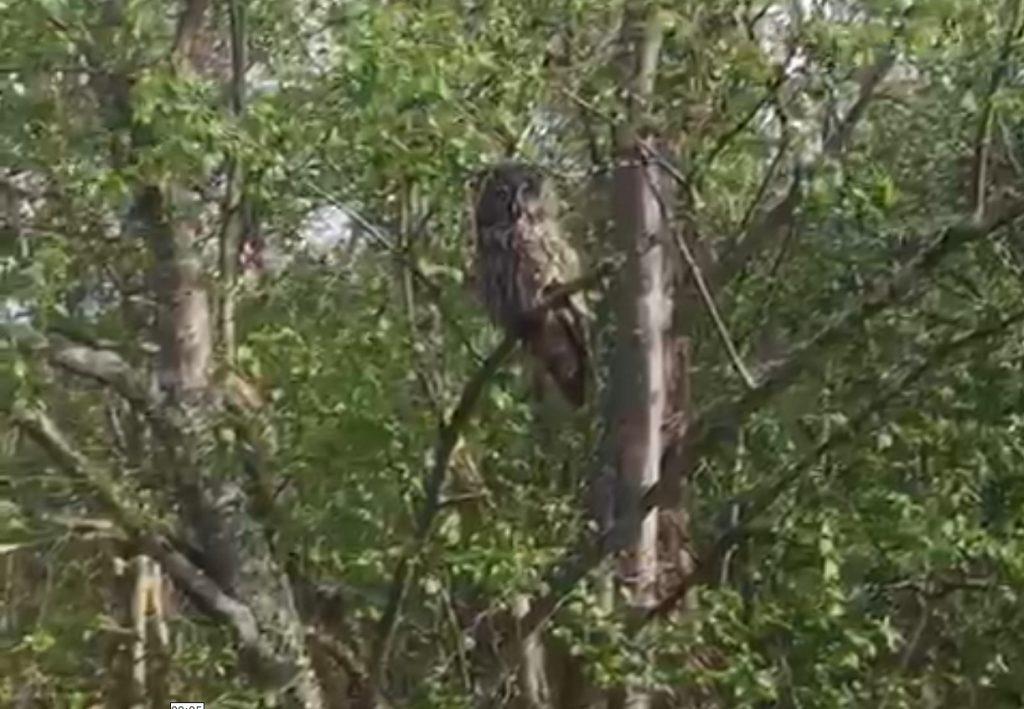 Краснокнижная сова прилетела в Навашинский заказник