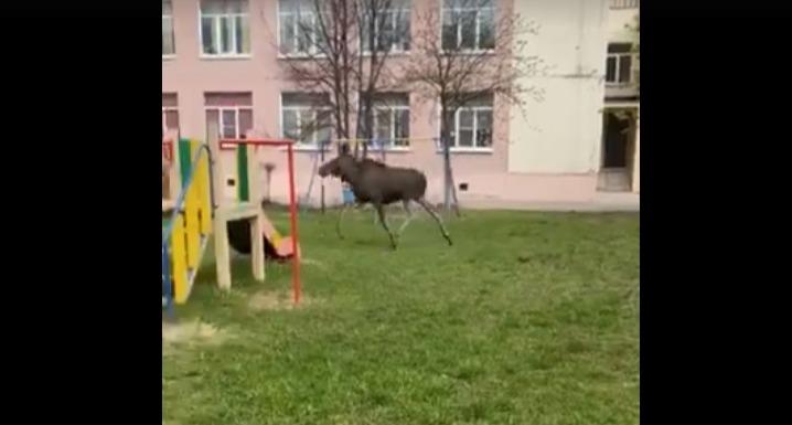 Лось заблудился в сормовском детском саду