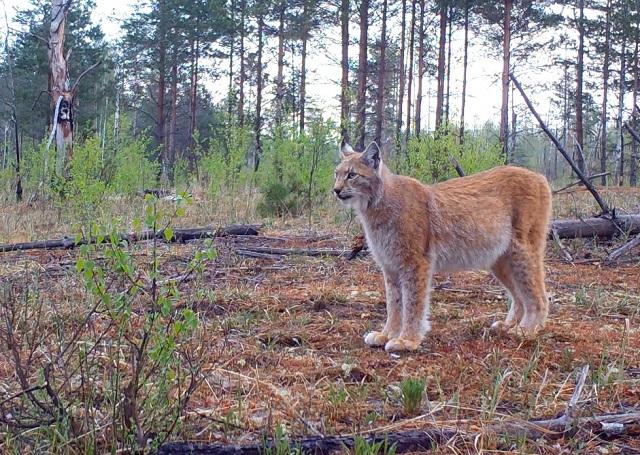 Рысь и медведь попались в фотоловушку Керженского заповедника (Фото)
