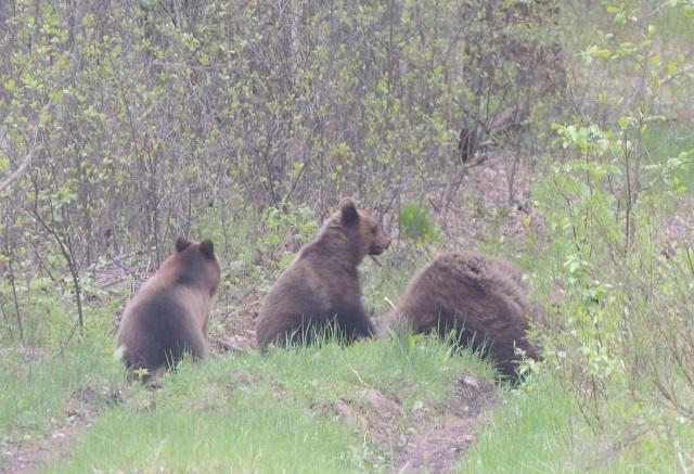Семейство медведей встретили в лесу сотрудники Керженского заповедника