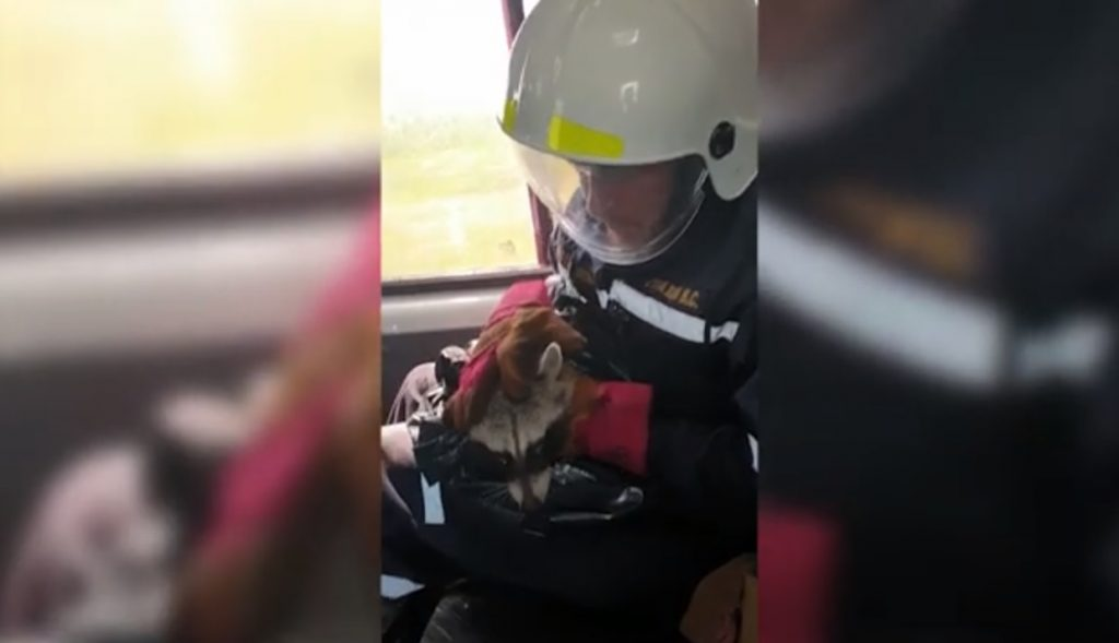 Опубликовано видео со спасённым в Нижнем Новгороде енотом