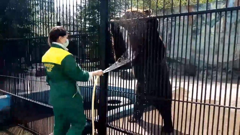 Бурые медведи Аяна и Балу из зоопарка «Лимпопо» спасаются от нижегородской жары