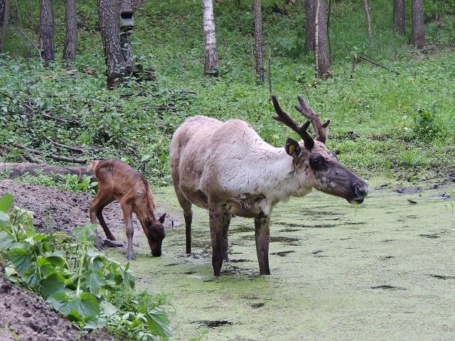 Фото дня: пять оленят появились на свет в Керженском заповеднике