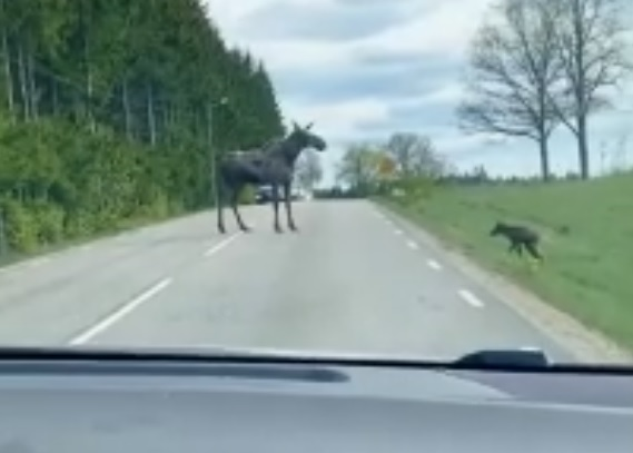 Нижегородские водители сняли милейшее видео, как лосенок учится ходить