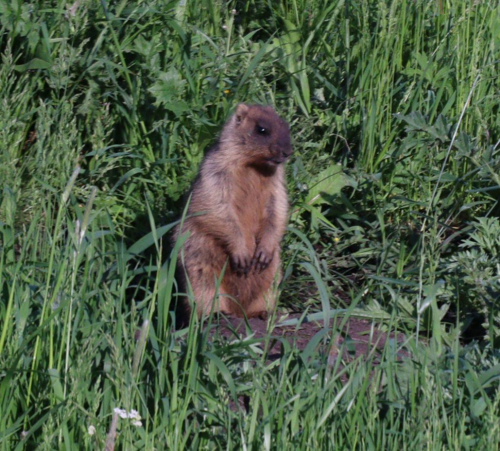 Численность степного сурка увеличилась в Нижегородской области