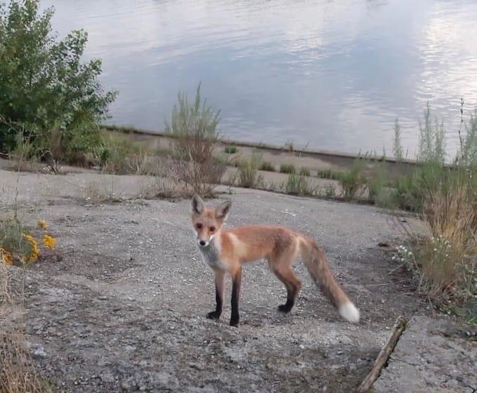 Фото дня: Нижегородцы встретили лисенка на набережной
