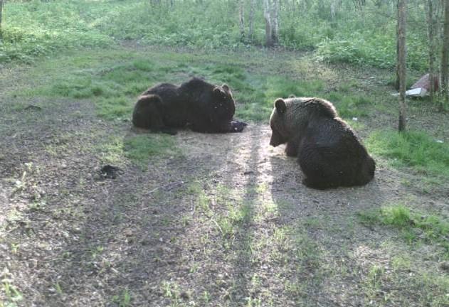 Популяция медведей увеличилась вНижегородской области
