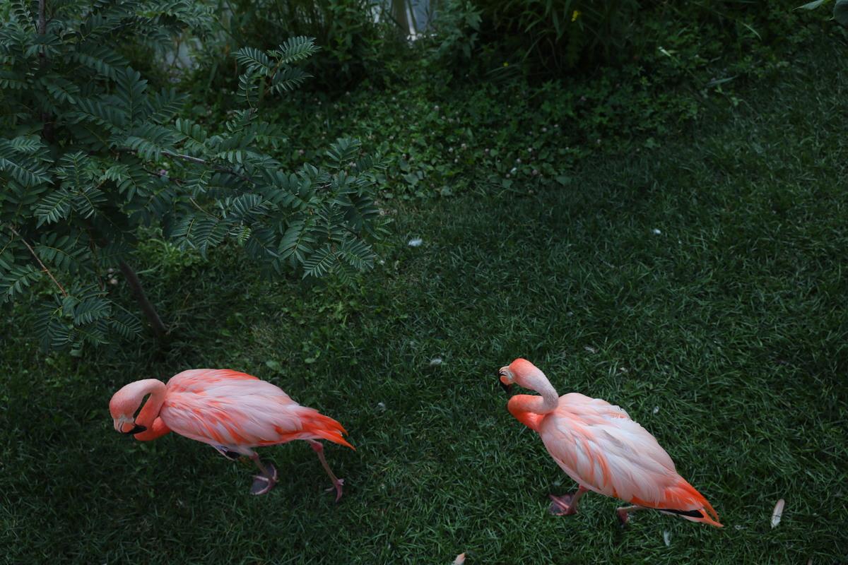 Лимпопо фламинго