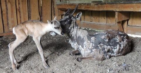 Северный оленёнок родился в Керженском заповеднике