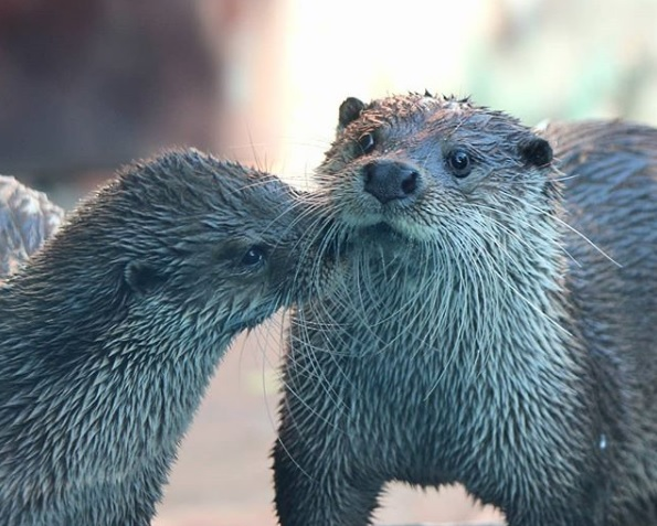 Синхронистки отдыхают: зоопарк «Лимпопо» показал, как купаются выдры