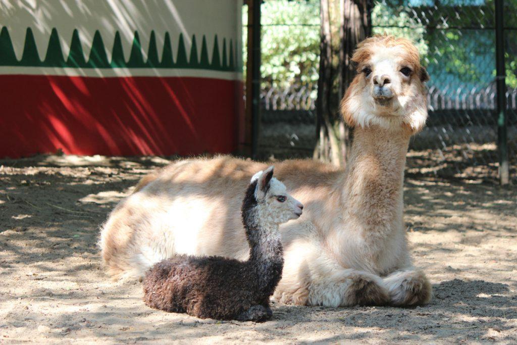 Фото дня: малышка-альпака родилась в зоопарке «Лимпопо»