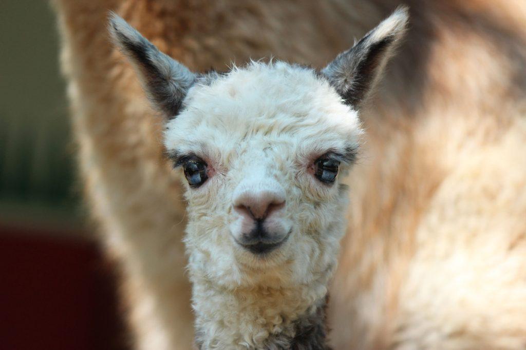 Малышка-альпака родилась в зоопарке «Лимпопо»