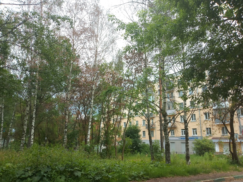 Четыре ели и западную тую пересадят от здания администрации города Дзержинска в дендрарий
